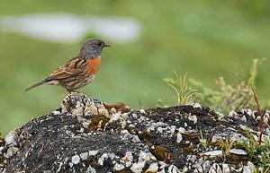 Sparrow, Tibet